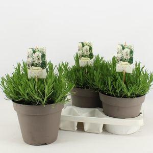 Lavandula angustifolia AROMANCE WHITE