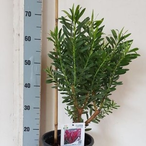 Leucadendron 'Coppertone'