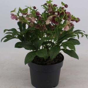 Helleborus orientalis 'Victoria'