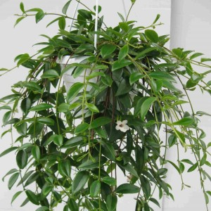 Codonanthe crassifolia (De Meyst Werner)