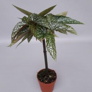 Begonia 'Tamaya'