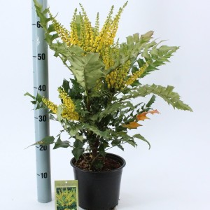 Mahonia x media 'Charity' (About Plants Zundert BV)