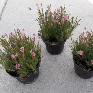Erica spiculifolia (Experts in Green)
