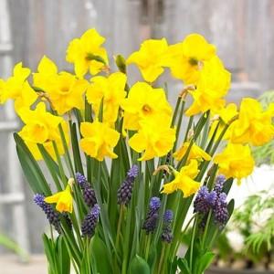 Narcissus 'Amico' (Kwekerij MJ Komen)