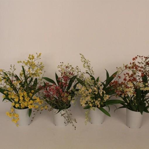 Oncidium TWINKLE MIX (Lansbergen Orchids)