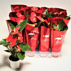 Anthurium ARISA RED