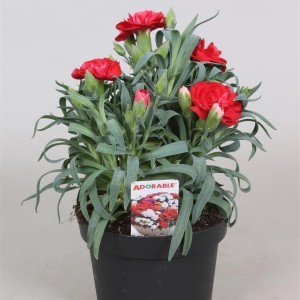 Dianthus ADORABLE MIX (Glorious Gloriosa)
