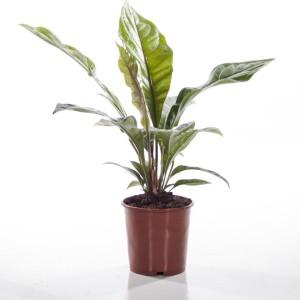 Anthurium ellipticum JUNGLE BUSH