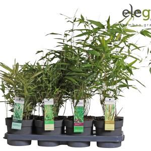 Bamboo MIX (Hoogeveen Plants)