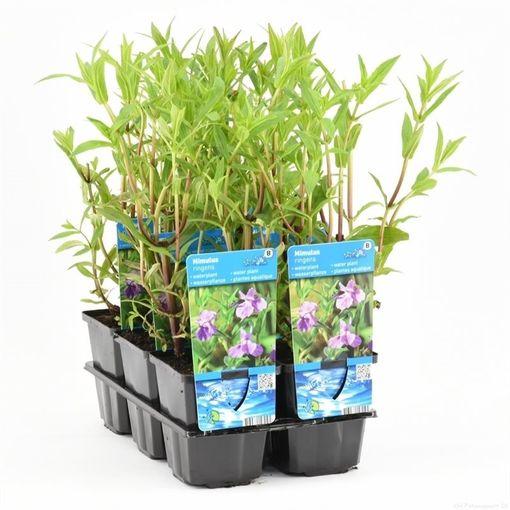 Mimulus ringens (Moerings Waterplanten)