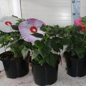 Hibiscus moscheutos LUNA MIX (B & L Plants VOF)