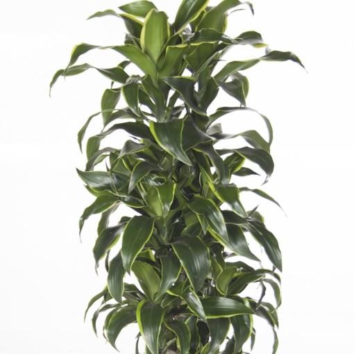 Dracaena fragrans 'Dorado' (Ammerlaan, The Green Innovater)