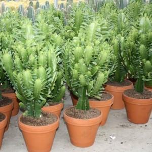Euphorbia acrurensis (Ubink)
