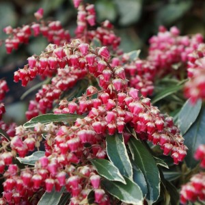 Pieris japonica 'Ralto' (About Plants Zundert BV)