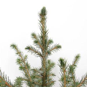 Picea omorika (Bremmer Boomkwekerijen)