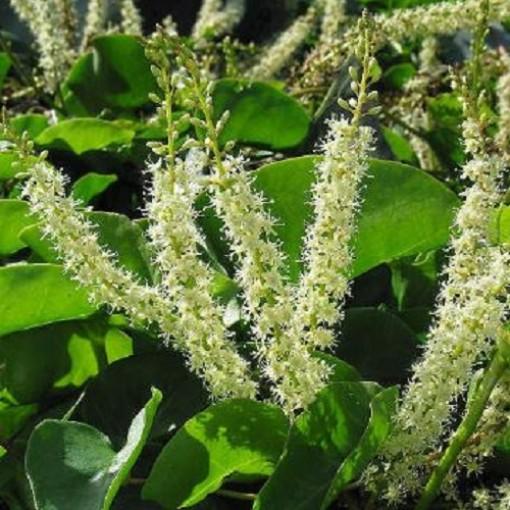 Anredera cordifolia (Admiraal Handelskwekerij)