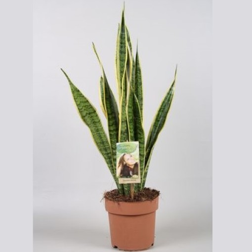 Sansevieria trifasciata 'Laurentii' (Vireõ Plant Sales)