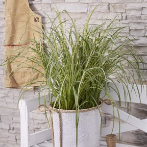 Chlorophytum saundersiae 'Starlight' (Hoogeveen Plants)