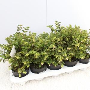 Symphoricarpos x doorenbosii (Experts in Green)