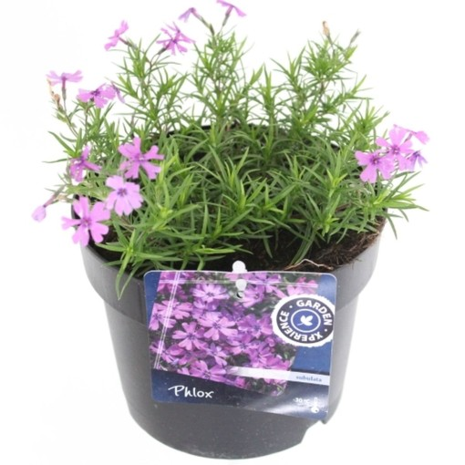 Phlox 'Purple Beauty' (Noordpoel, Kwekerij de)