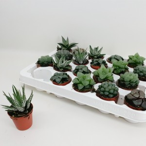 Haworthia MIX