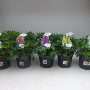 Lupinus polyphyllus MIX (Experts in Green)