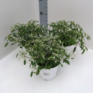 Euphorbia 'Silverfog' (Experts in Green)