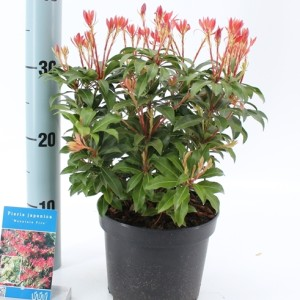 Pieris japonica 'Mountain Fire' (About Plants Zundert BV)