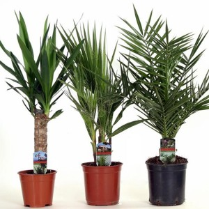 Palms MIX (Luiten kwekerij)