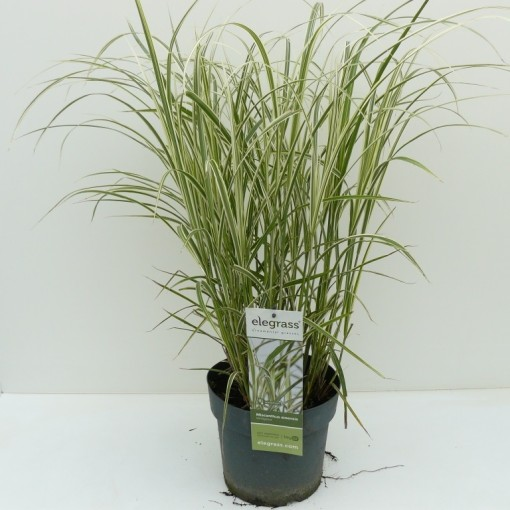 Miscanthus sinensis 'Variegatus' (Experts in Green)