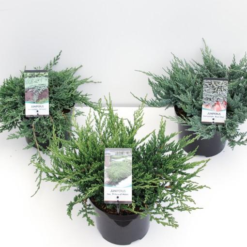 Juniperus MIX (Bremmer Boomkwekerijen)