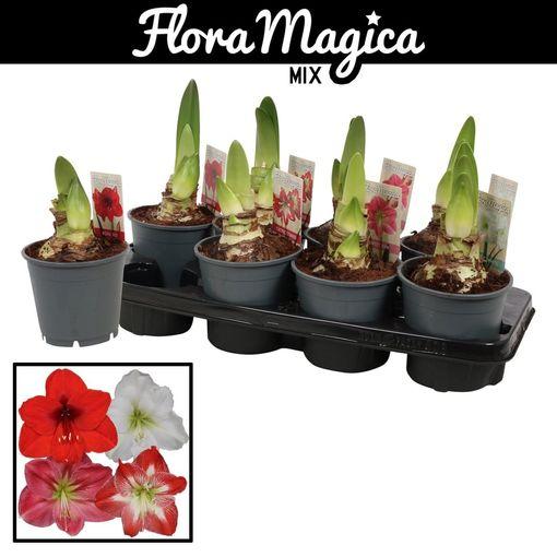 Hippeastrum MIX (Vreugdenhil Bulbs & Plants)