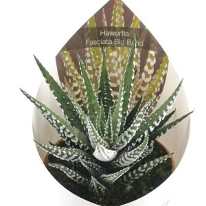 Haworthia fasciata 'Big Band'