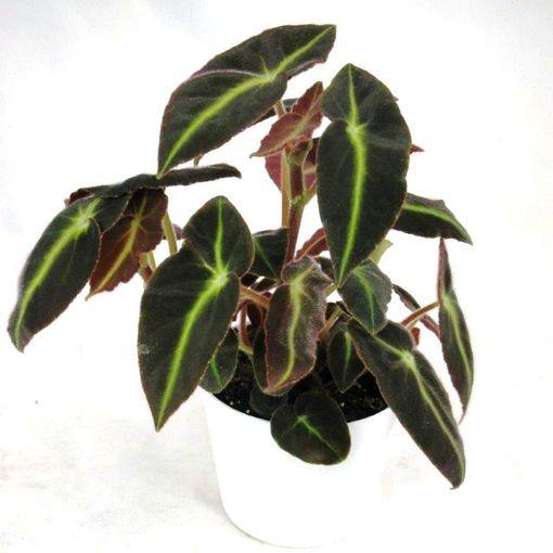 Begonia ANGEL WING BRAZIL (Gasa DK)