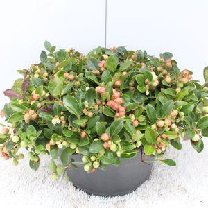 Gaultheria procumbens 'Red Baron'