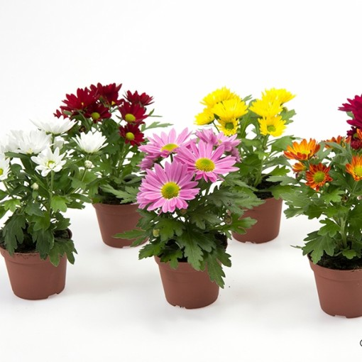 Chrysanthemum INDICUM MIX (Gasa DK)
