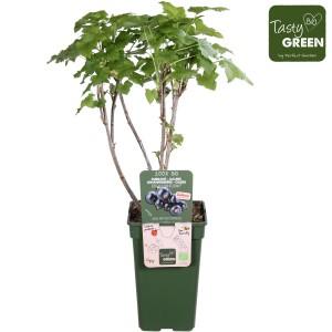 Ribes nigrum CASSISSIMA NOIROMA