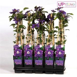 Clematis 'Multi Blue' (Hoogeveen Plants)