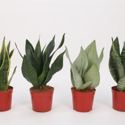 Sansevieria MIX (Bunnik Plants)