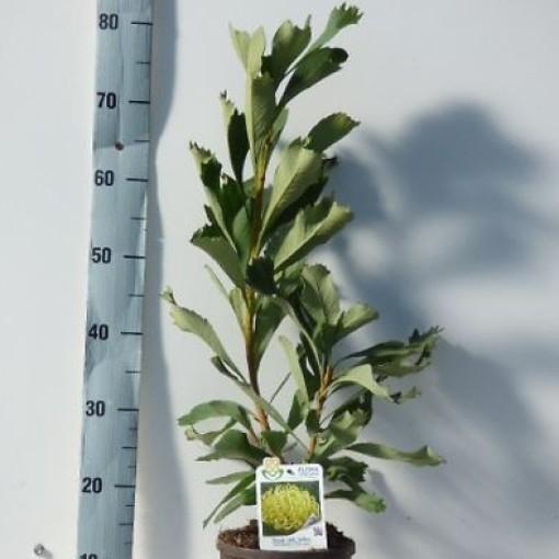 Telopea SHADY LADY YELLOW (Flora Toscana)