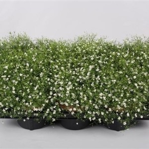 Gypsophila muralis FLEUR WHITE (Endhoven Flowering Plants)