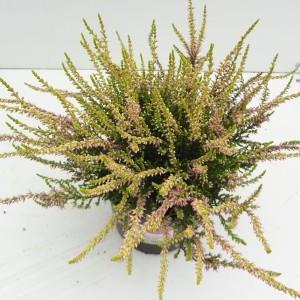 Calluna vulgaris GARDEN GIRLS THERESA (About Plants Zundert BV)