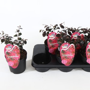 Loropetalum chinense BLACK PEARL