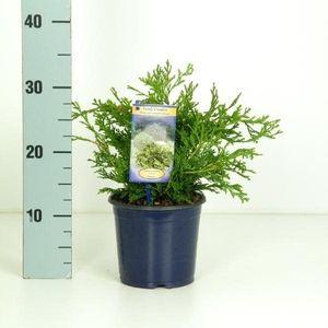 Chamaecyparis obtusa 'Pygmaea' (Kwekerij Vredebest)