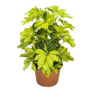 Schefflera arboricola 'Melanie'