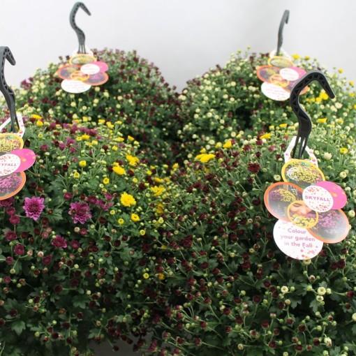 Chrysanthemum SKYFALL MIX IN POT (Bas van der Wilt)