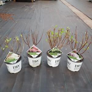 Hydrangea arborescens MIX