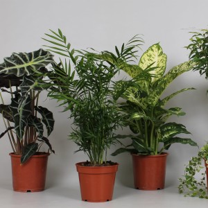 Foliage plants MIX (Kwekerij J. de Groot BV)