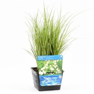 Eriophorum angustifolium (Moerings Waterplanten)