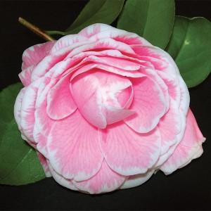 Camellia japonica 'Giardino Schmitz' (Flora Toscana)
